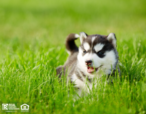 Husky Puppy Relaxing the Backyard of a Homestead Rental Property