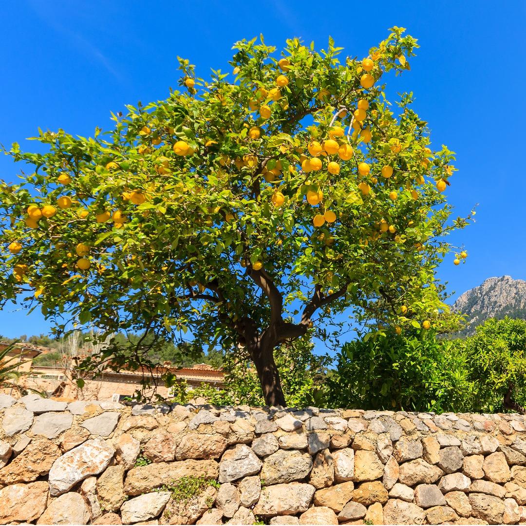 A Nice Little Lemon Tree in the Yard