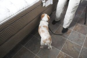 Some Dogs Can Be Trained to Detect Bed Bugs