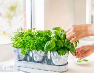 Levittown Tenant Trimming Indoor Herbs