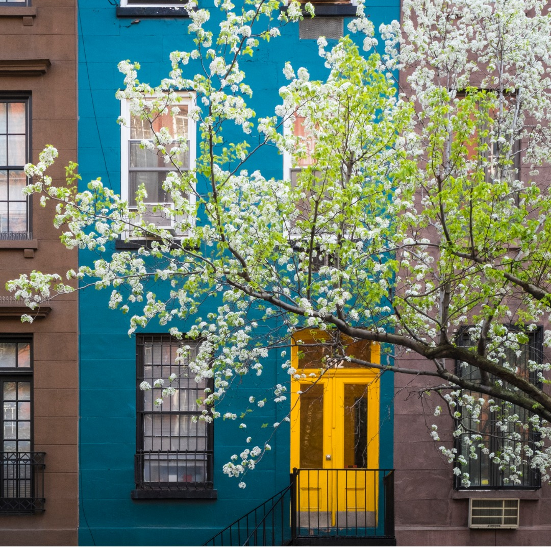Blossoming tree in front of blue apartment in Manhattan New York