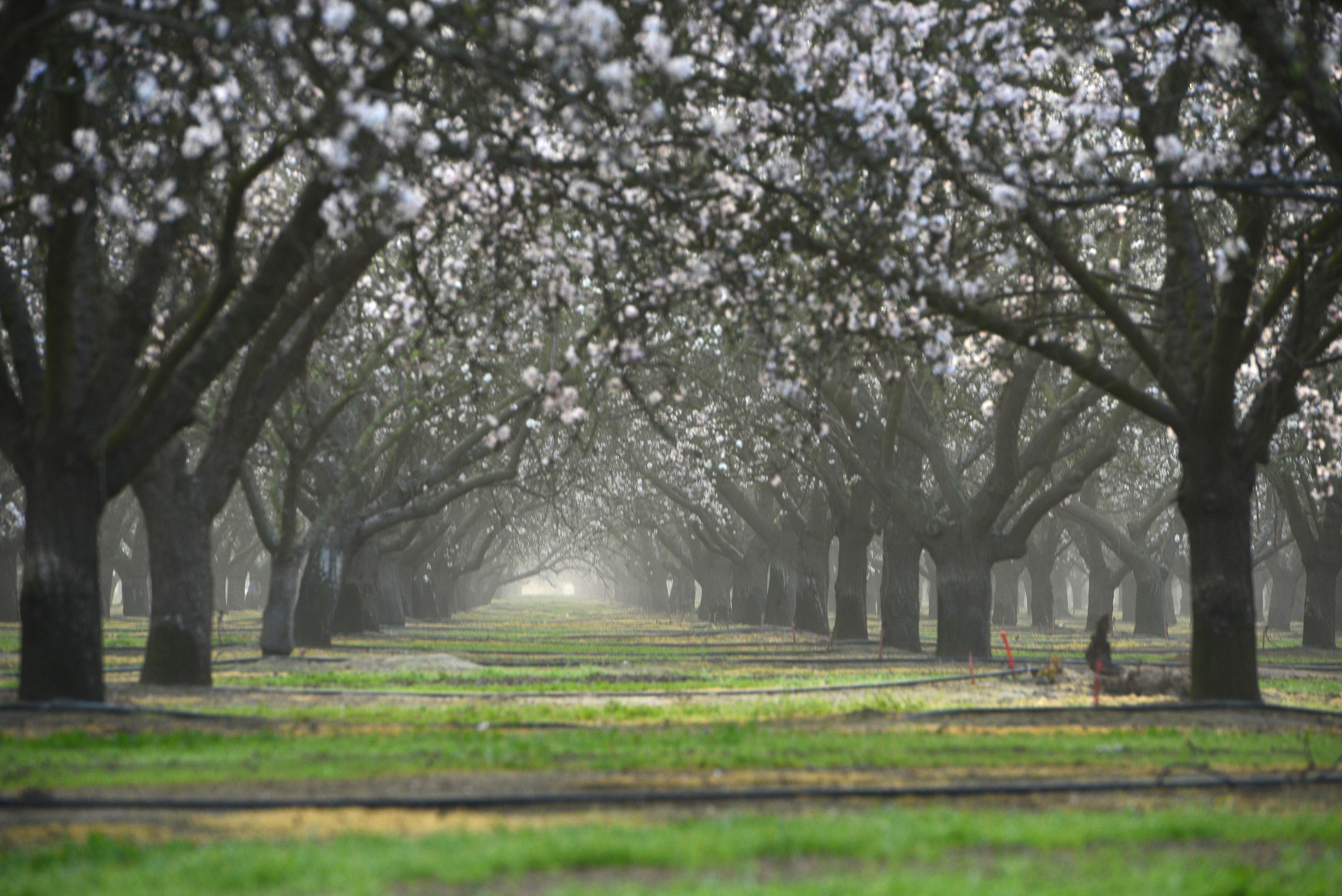 Almond Farm Flower Blooming in Clovis, CA