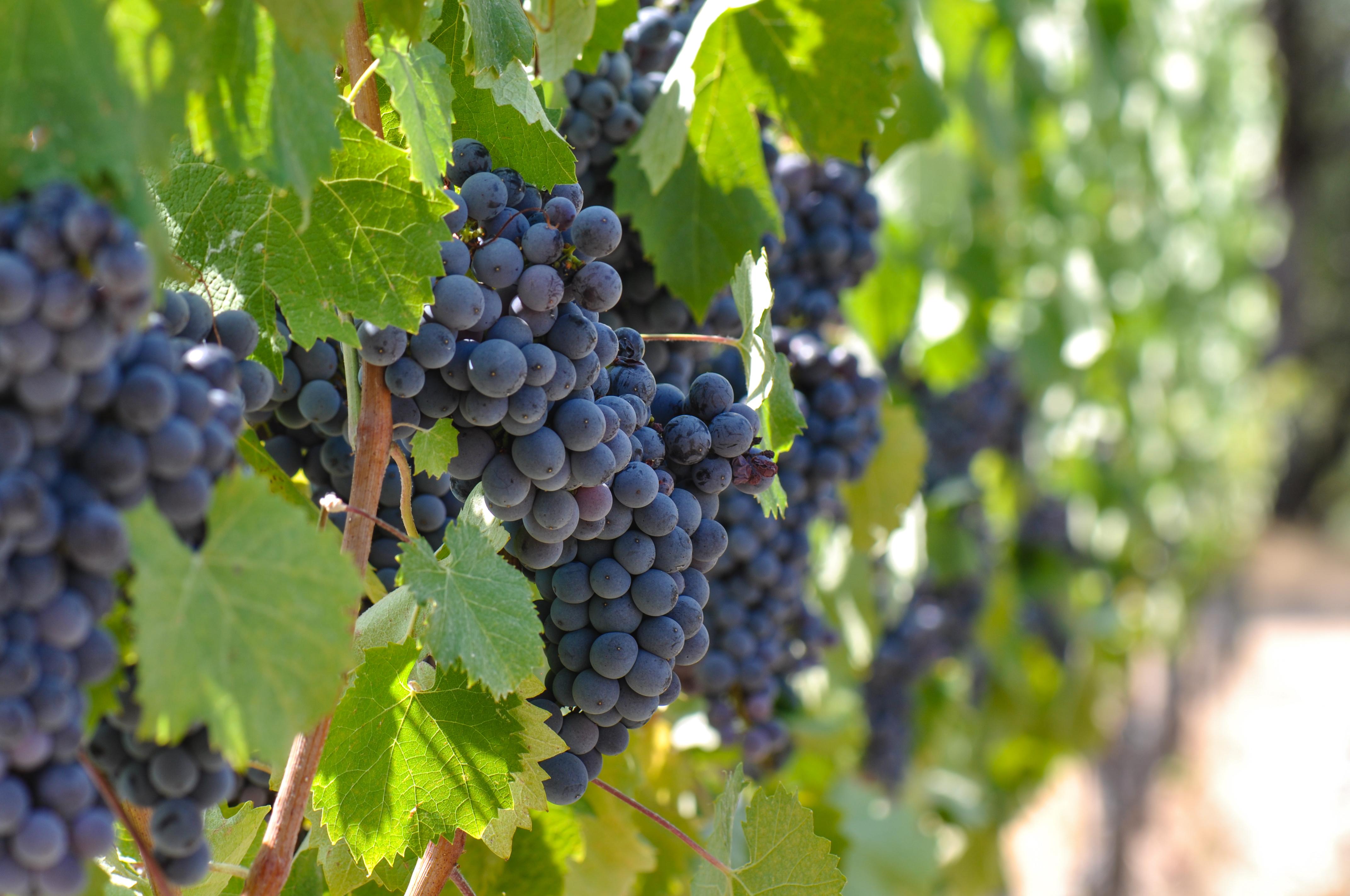 Red Grapes in a Vineyard Near Copper River, CA