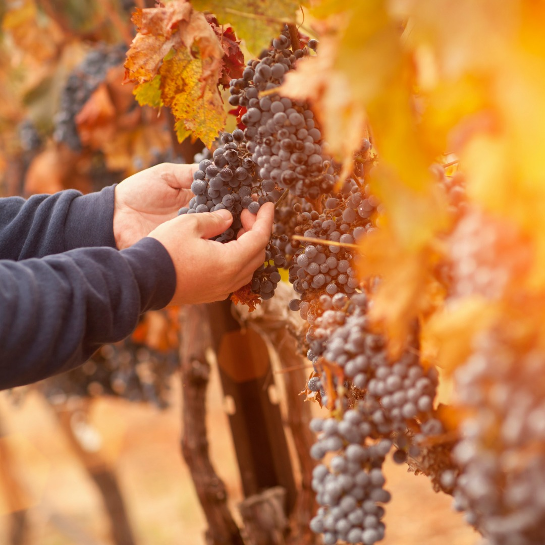 Farmer Inspecting His Wine Grapes In a Vineyard