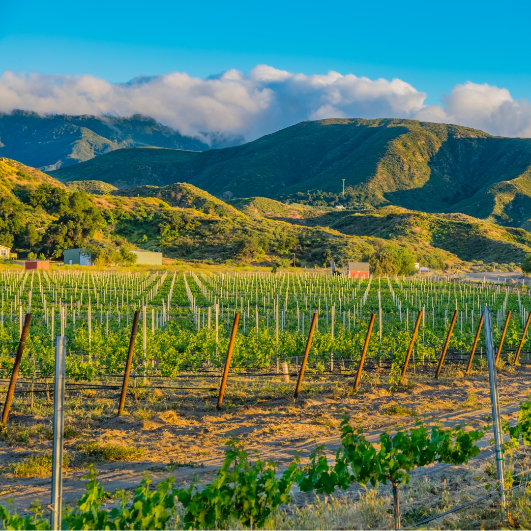 Beautiful Springtime View of a Vineyard in the Temecula Valley