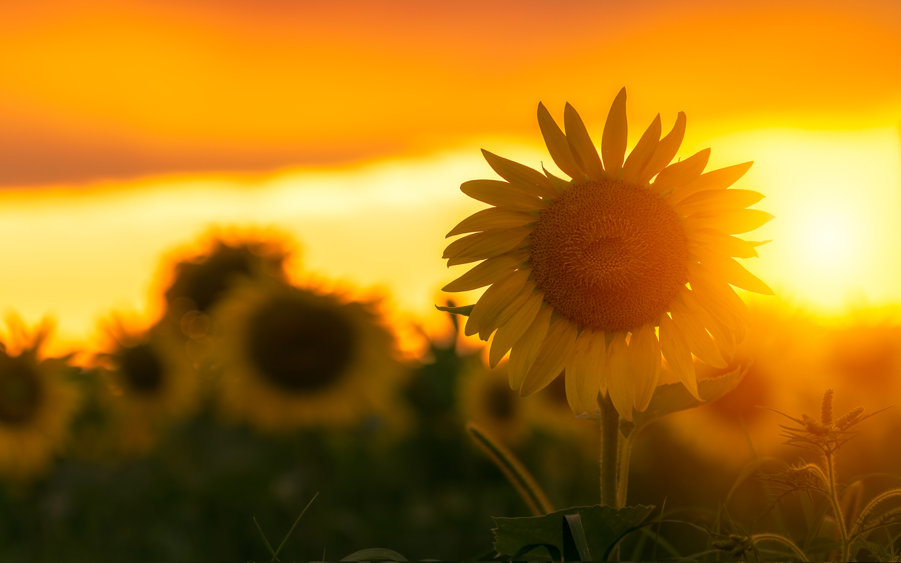 sunflower field in rural minnesota at sunset