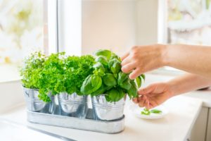 Sterling Heights Tenant Trimming Indoor Herbs
