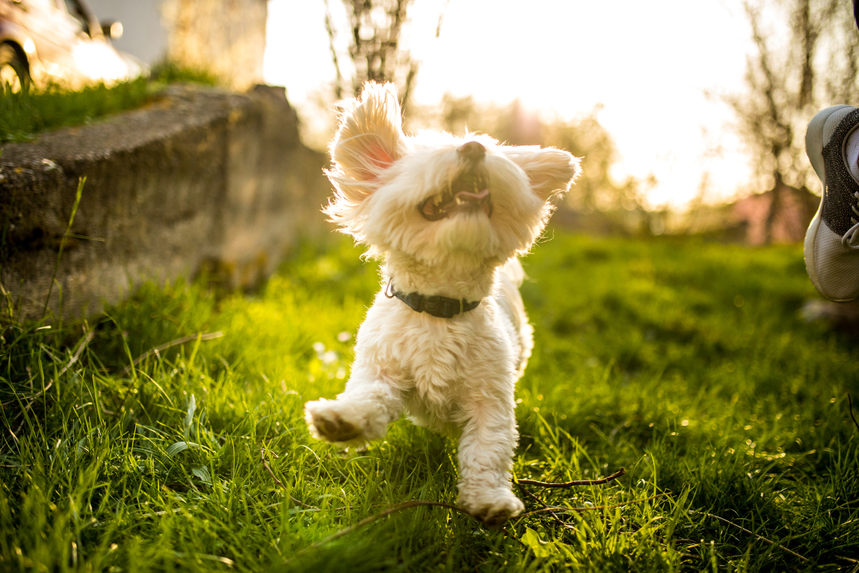 Happy Active Maltese Dog Playing in Nature