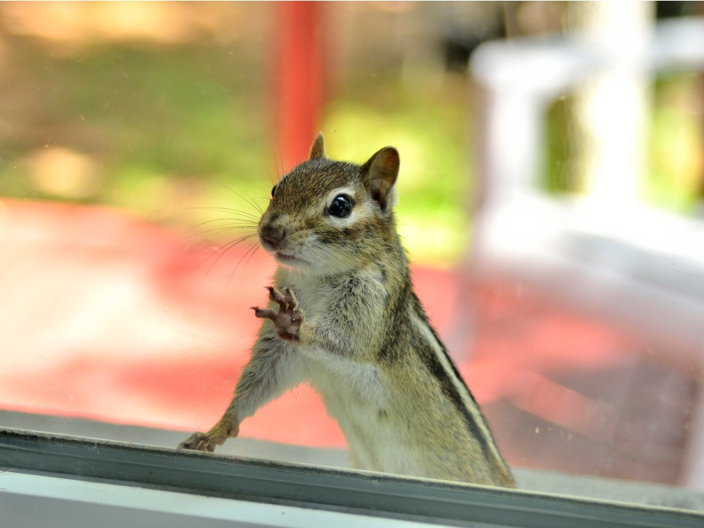 Curious Chipmunk is Peering Through the Window of Your Columbia Rental Property