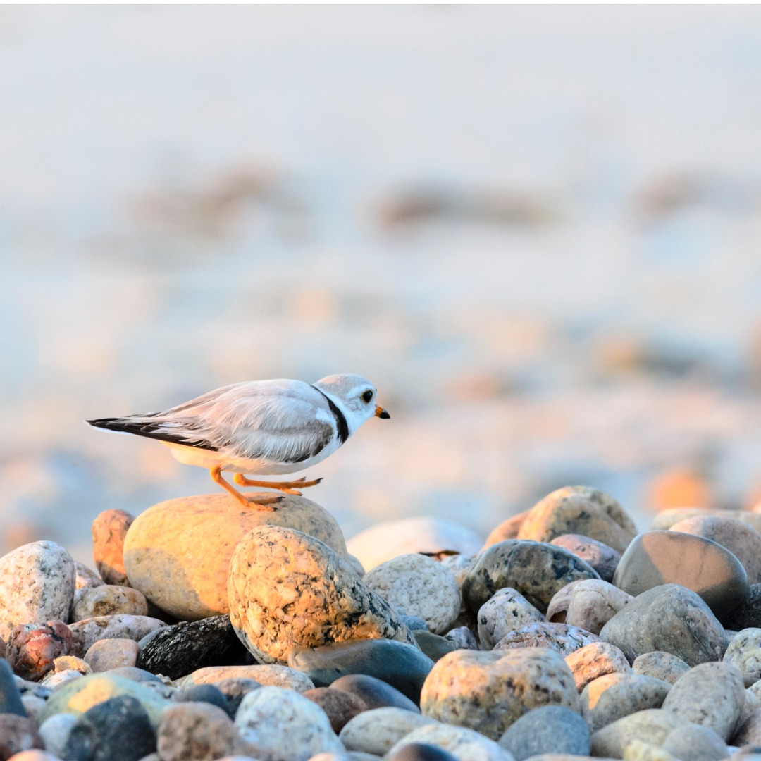 Piping Plover traversing rocks on the coast
