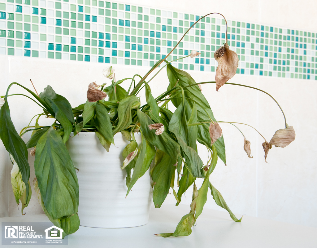 Dead Peace Lily in Providence Bathroom