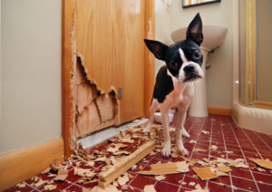 A tiny Boston terrier puppy chews a hole in the bathroom door
