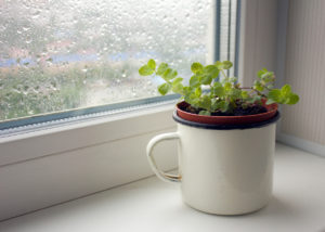 Small Planter of Peppermint Sitting Near a Window