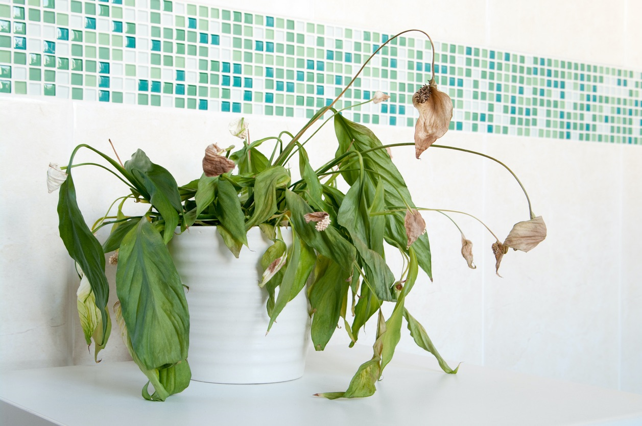 Dead Peace Lily in Ivins Bathroom