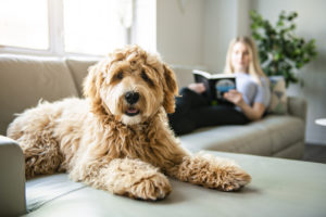Woman with Golden Labradoodle dog reading at home