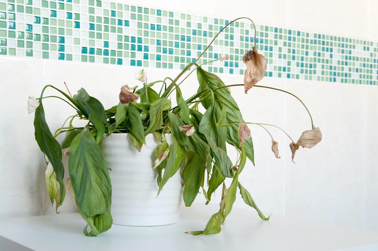 Dead Peace Lily in Houston Bathroom